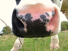A cow's nose